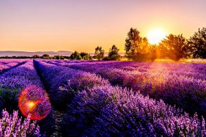 Lavendelfeld im Sonnenuntergang