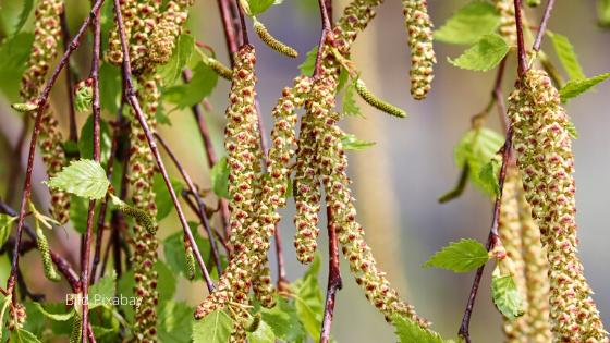 Birkenpollen-Allergiker – Vorsicht mit Sojaprodukten